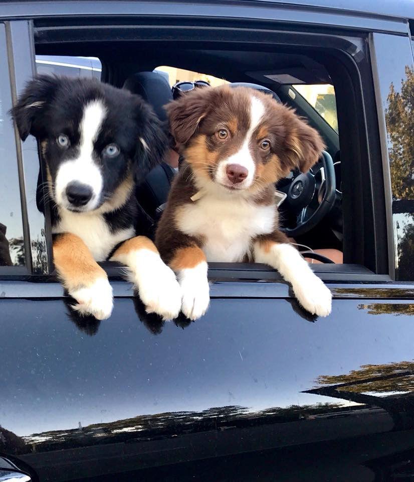 Mini Aussie Puppies Portland Trails End Mini Aussies With