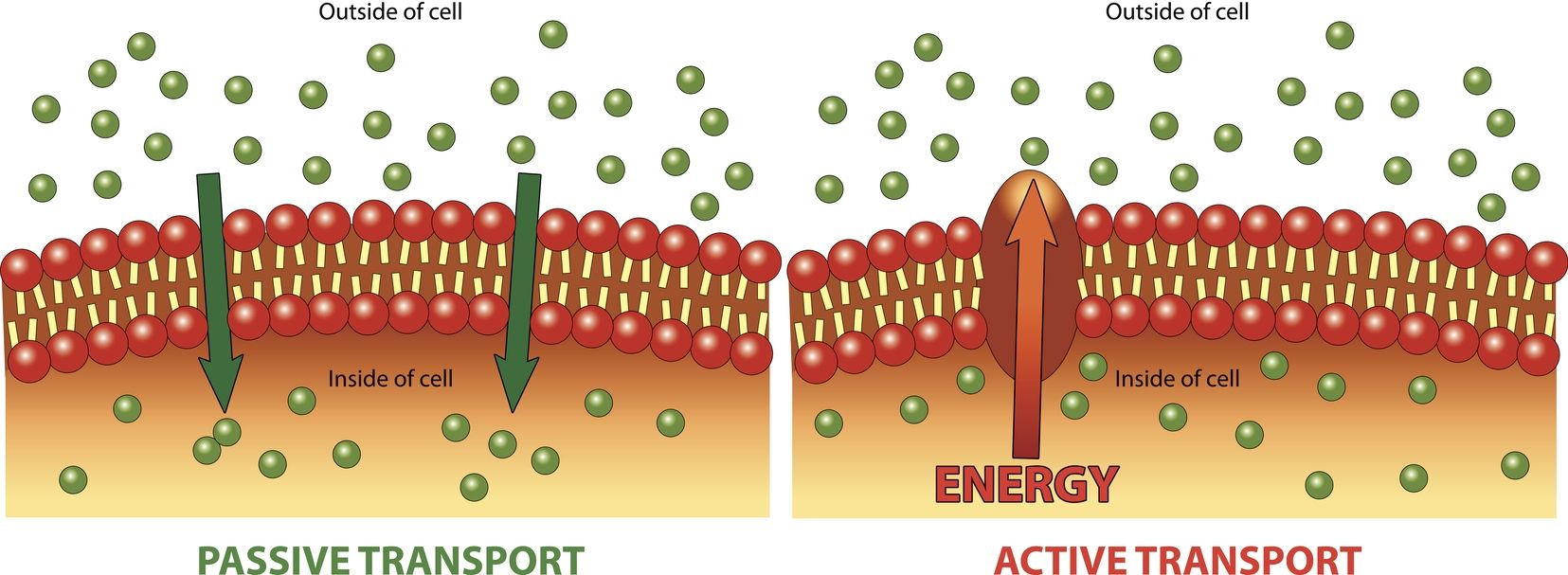 Passive Transport Is A Process That Occurs In All Cells In This Process Molecules Move Acr Passive Transport Facilitated Diffusion Kids Worksheets Printables [ 607 x 1655 Pixel ]