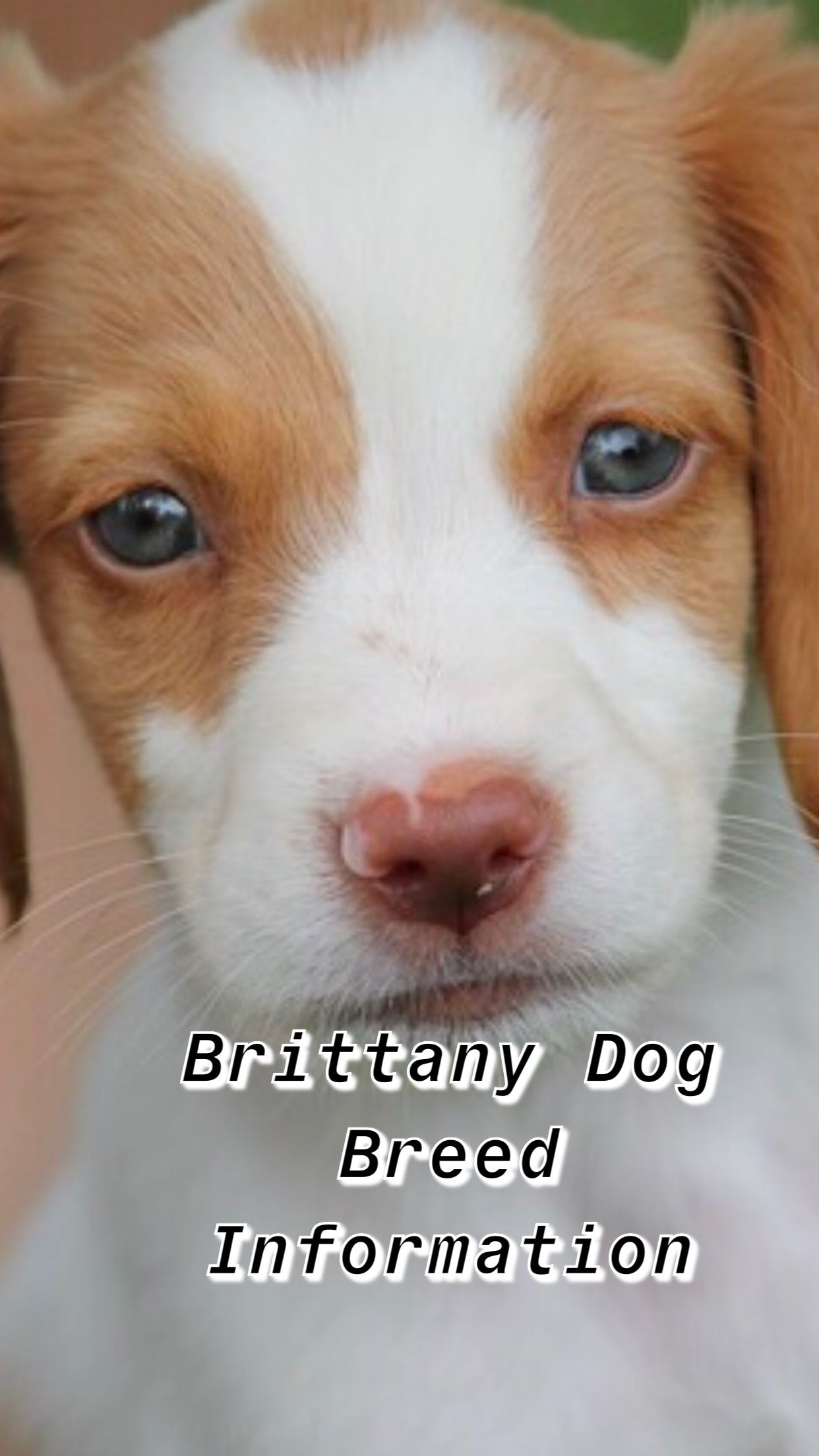 Ultimate Brittany Dog Breed Information Brittany Dog Brittany Spaniel Dogs Dog Breeds