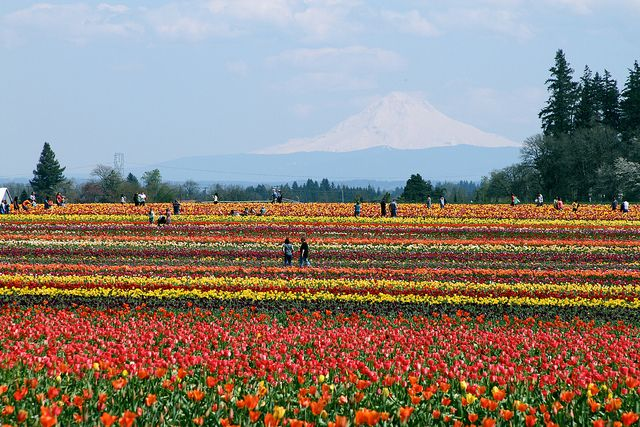 tulip festival - woodburn, or