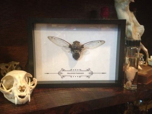 Mounted cicada #oddities #curiosities