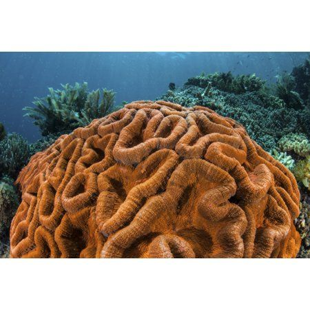 A brilliantly colored coral colony grows on a healthy reef Canvas Art - Ethan DanielsStocktrek Images (17 x 12)