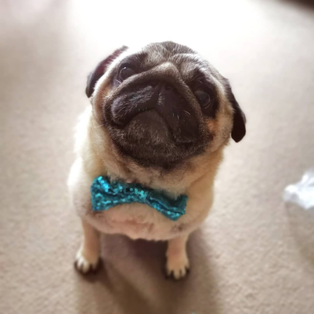 Big Chonk Smol Chonk 5 Years Old Today Pug Puglife