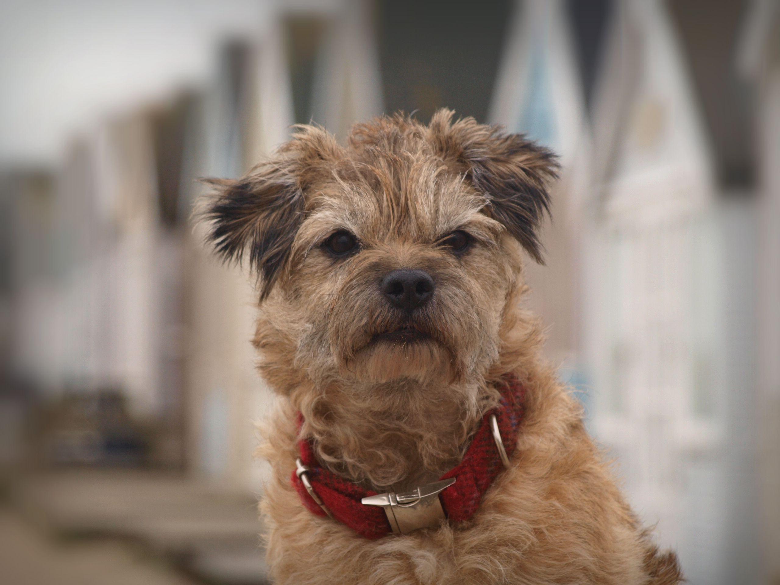 Border Terrier Fur & Finn Pinterest Border terrier
