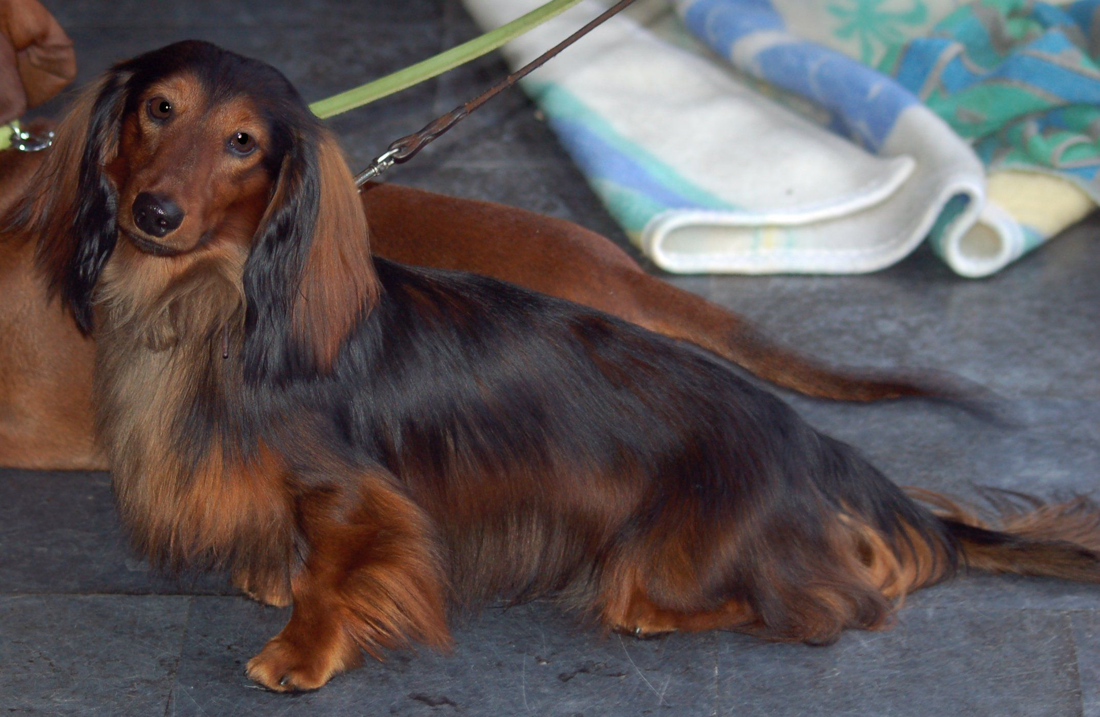 A Standard Long Haired Dachshund Long Haired Dachshund