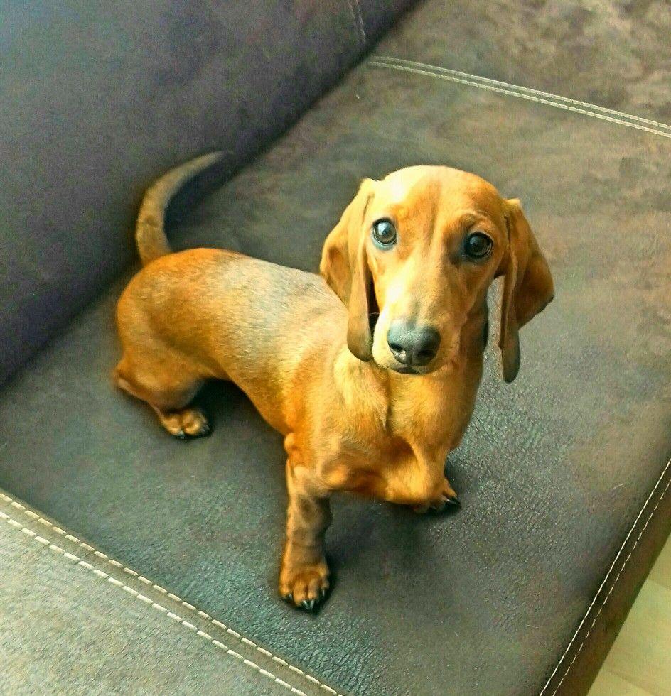 Pin By Kathy Bunn On Doxies Weenie Dogs Wiener Dog Dachshund