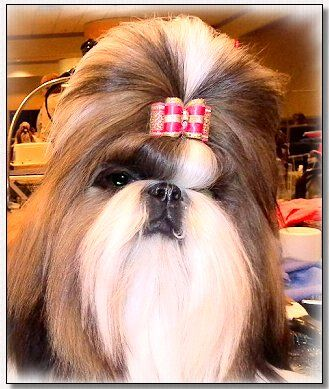 Shih Tzu Ch Mr Foo S A Season To Remember Amber Dog Bows