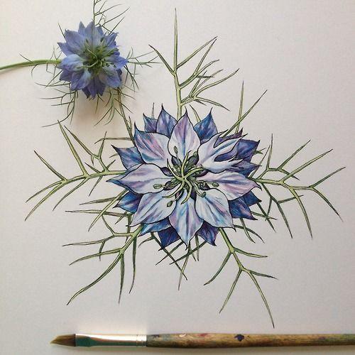 Nigella With Color Noel Padges Pugh Flower Drawing Flower Art Floral Art