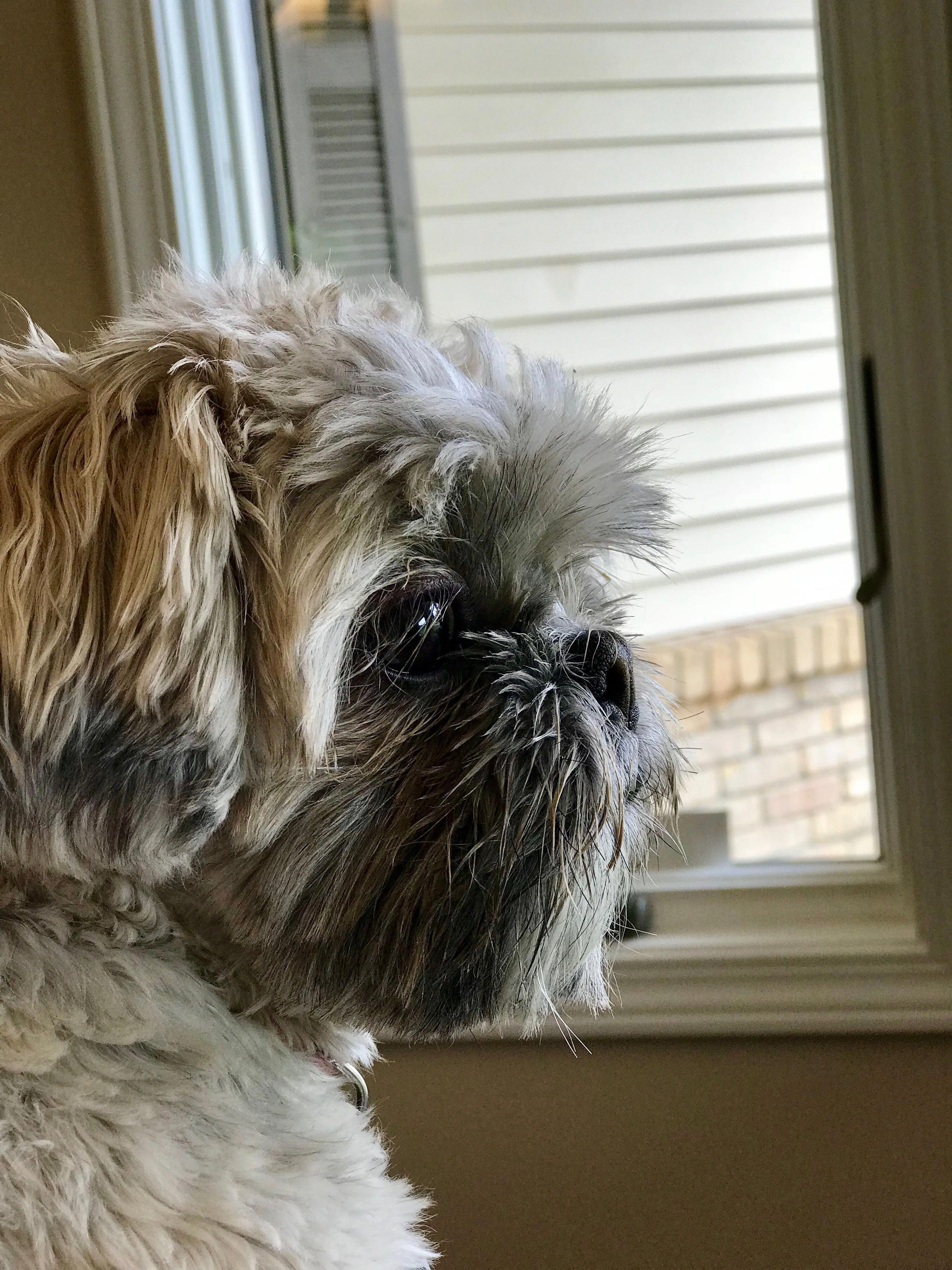 Everything About Playfull Shih Tzu Personality