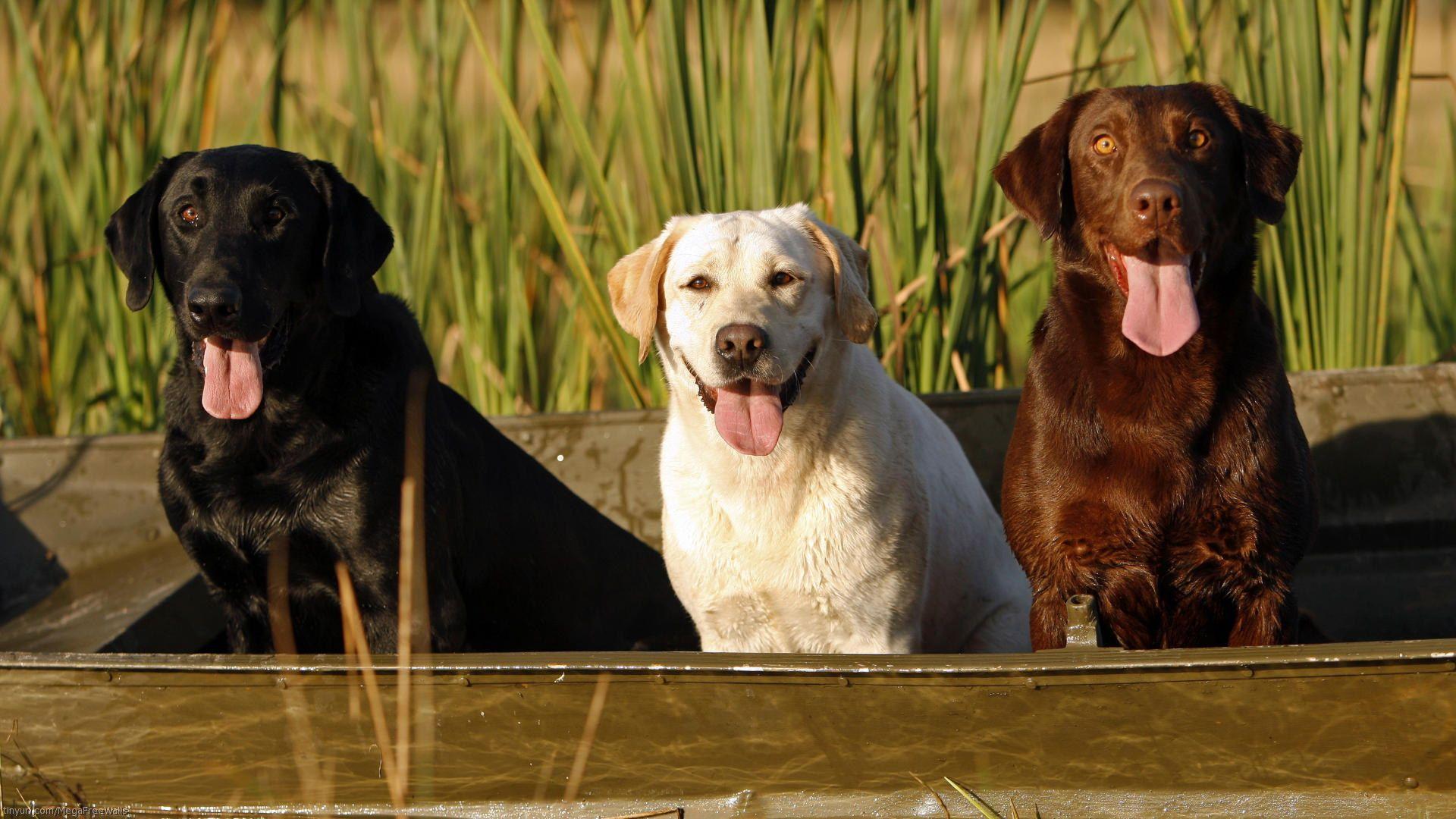 Labrador Retriever Computer Wallpaper Desktop Background 1920x1080 Id 277679 Dog Breed Info Labrador Retriever Labrador Dog