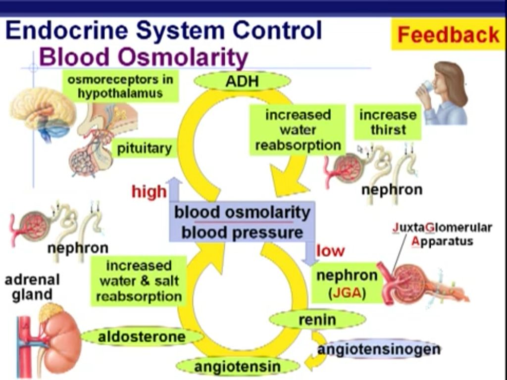 Endocrine System Control Feedback Blood Osmolarity Adh