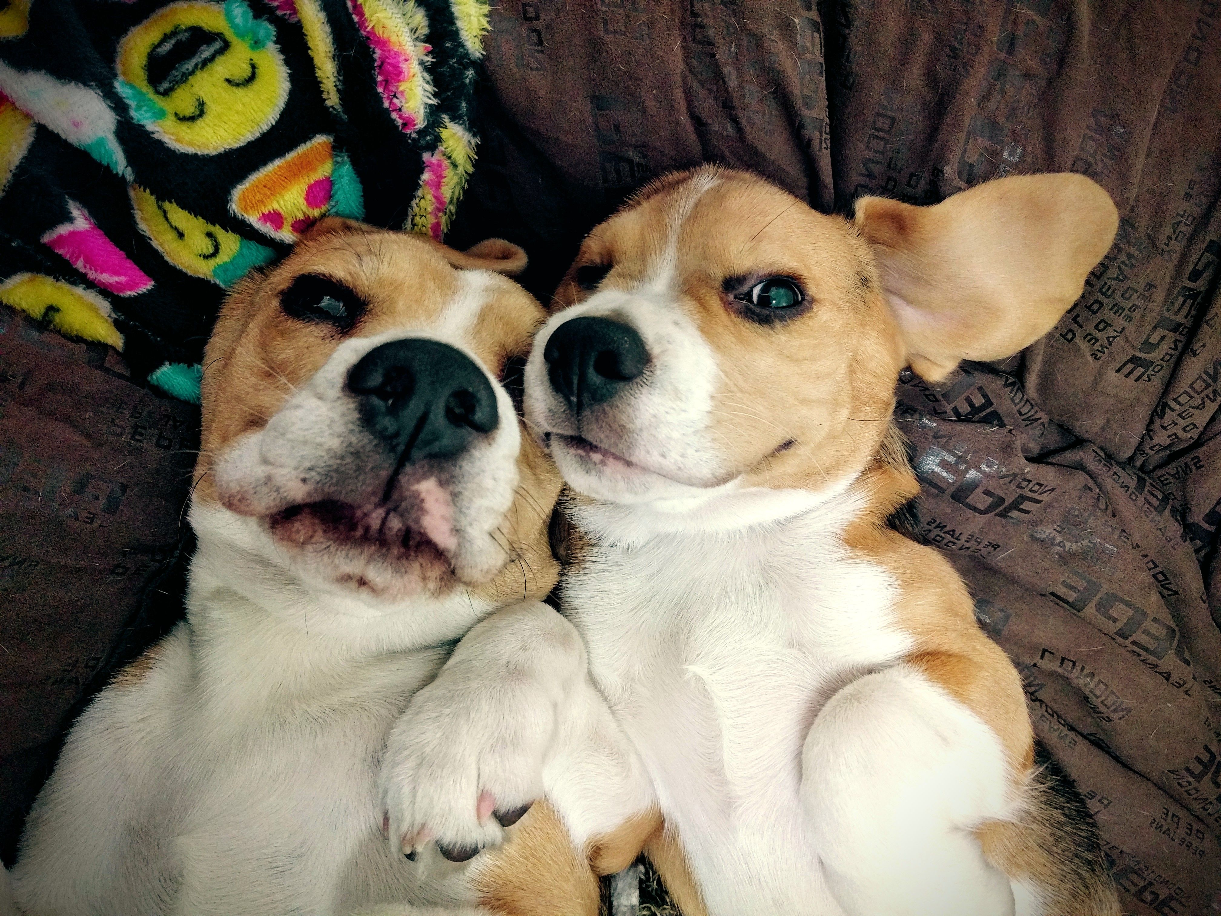 Pin By Arata On Cute 3 Beagle Cute Pictures Animals