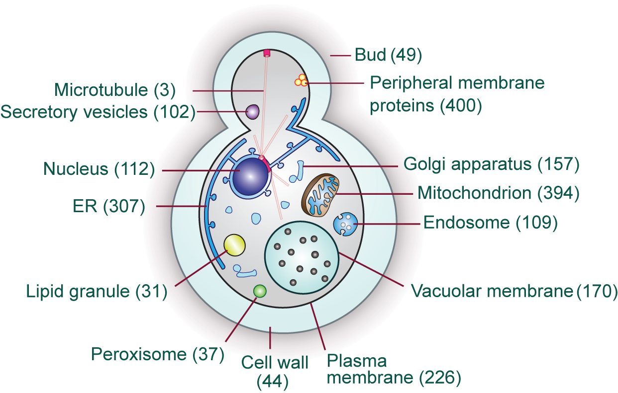 Fungus Cell Diagram Labeled Egg Yeast Mcat Pinterest