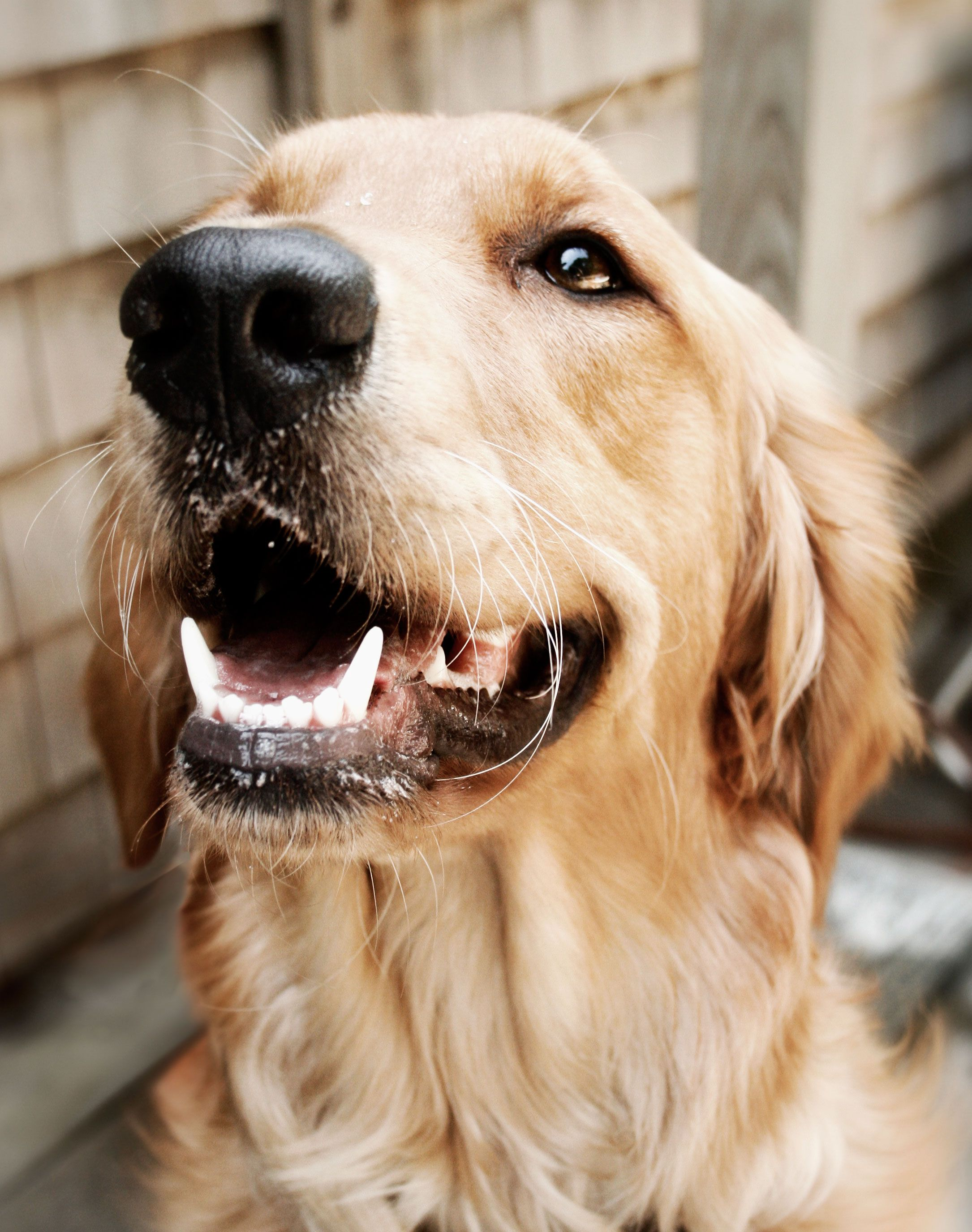 Pet Photography Golden Retriever Dog Portraits Beautiful Dog