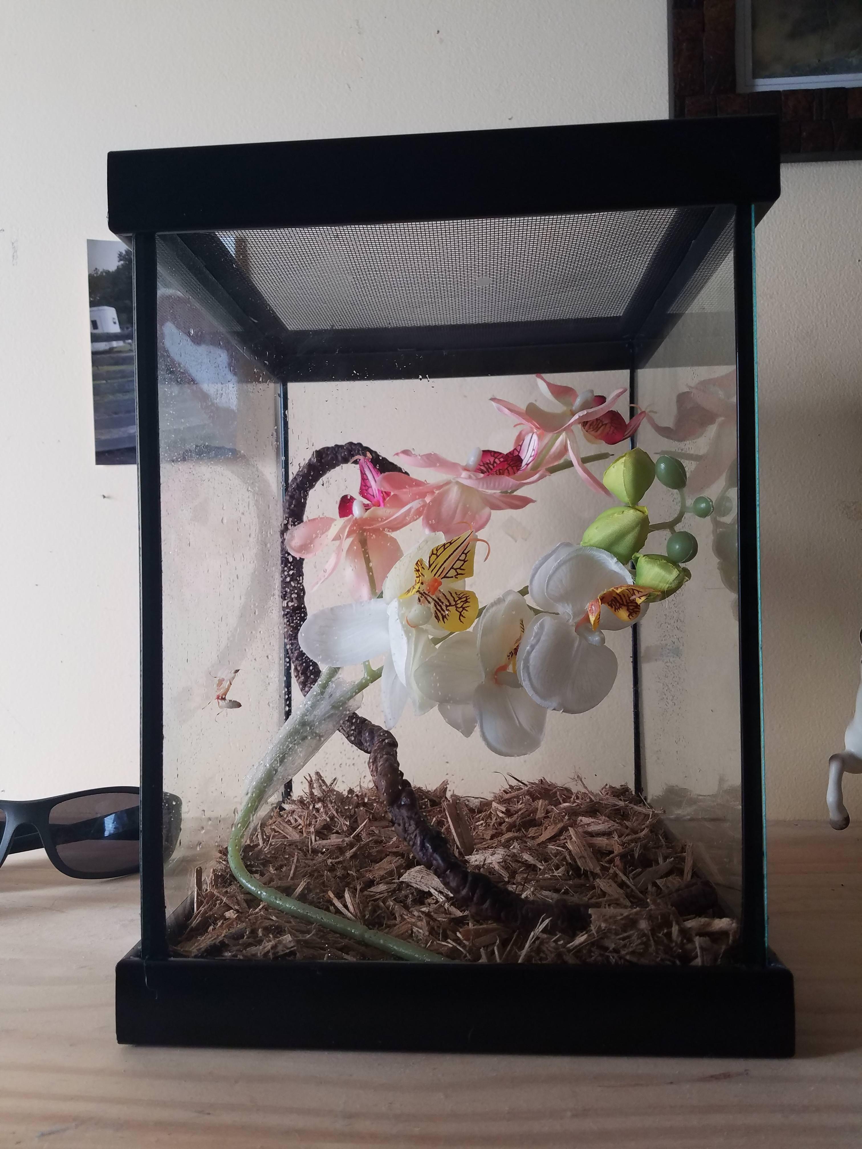 Pin On Orchid Mantis Terarium