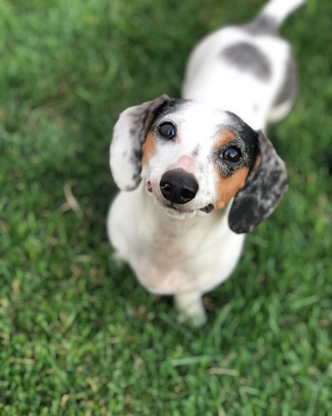 Dachshund Products Apparel And Gifts Piebald Dachshund Training Your Dog Weenie Dogs
