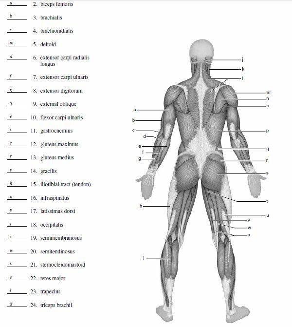 muscle blank drawing - Google Search AP Human muscle anatomy