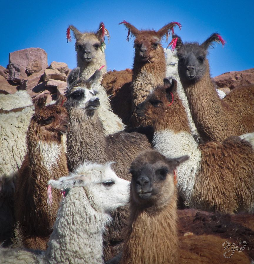 These llamas were in a pen to protect them from pumas ... Llamas The Animal