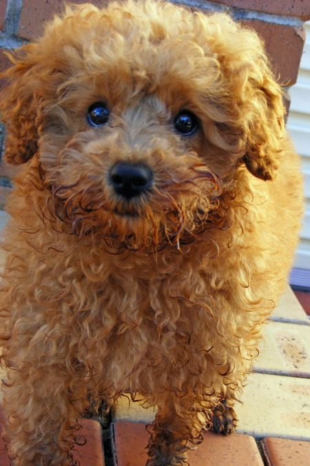 Curly Curly Curly Brown Puppies Poodle