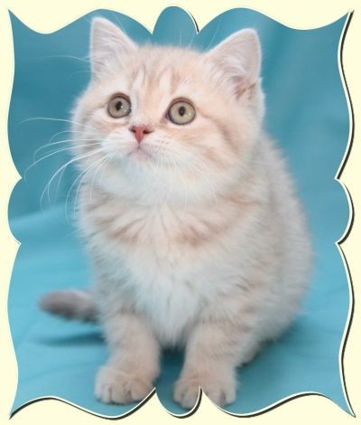 Welcome To Burlea British Shorthairs Black Tipped Golden Tipped Blue Golden Tipped Colourpoints Briti British Shorthair Cats Cat Breeder British Shorthair