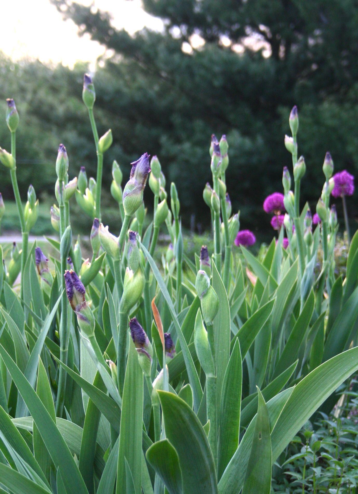 Late Evening Light On Emerging Iris.