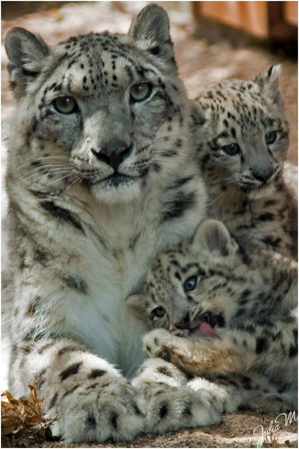 Snow Leopard mom and her kittens