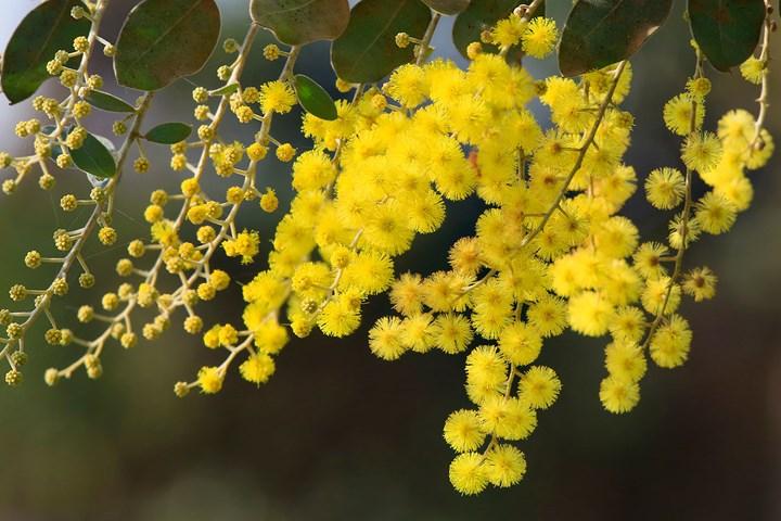 Wattle Acacia Acacia Wattle In 2020 Australian Native Plants Australian Plants Native Plants