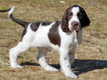 English Springer Spaniel Dogs 101 Http Tipsfordogs Info 90dogtrain English Springer Spaniel Puppy English Cocker Spaniel Puppies Springer Spaniel Puppies
