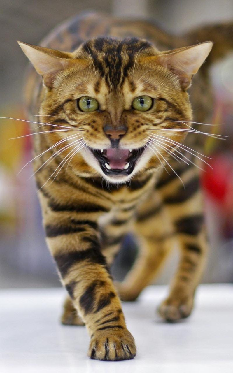 A Bengal cat is seen during the Mediterranean Winner 2016 cat show ...