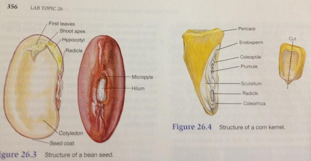 Monocot vs. Dicot Seed Anatomy   Plant Diversity II - Seed Plants ...