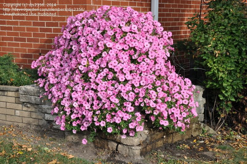 Vista Bubblegum Petunia.  Recommended by Rita Randolph. Blooming profusely in early October.