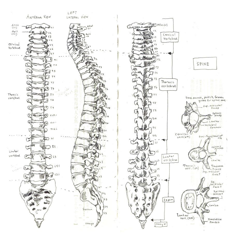 skullandbone  pilotage101  so this is what u2019s in there  human spine illustration