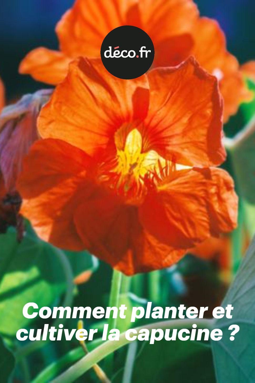 Planter Des Coquelicots Dans Son Jardin facilement reconnaissable avec ses superbes fleurs colorées