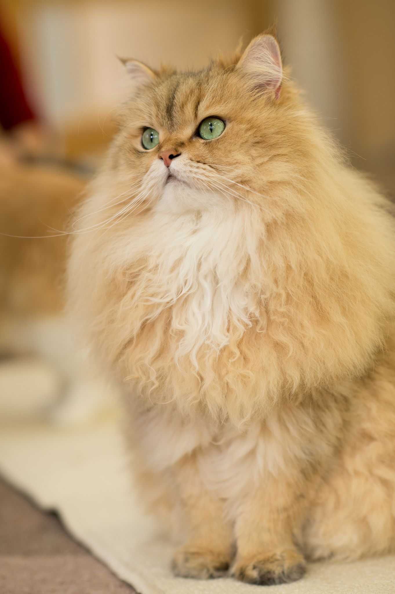 Cats Wallpapers Orange Himalayan Cat