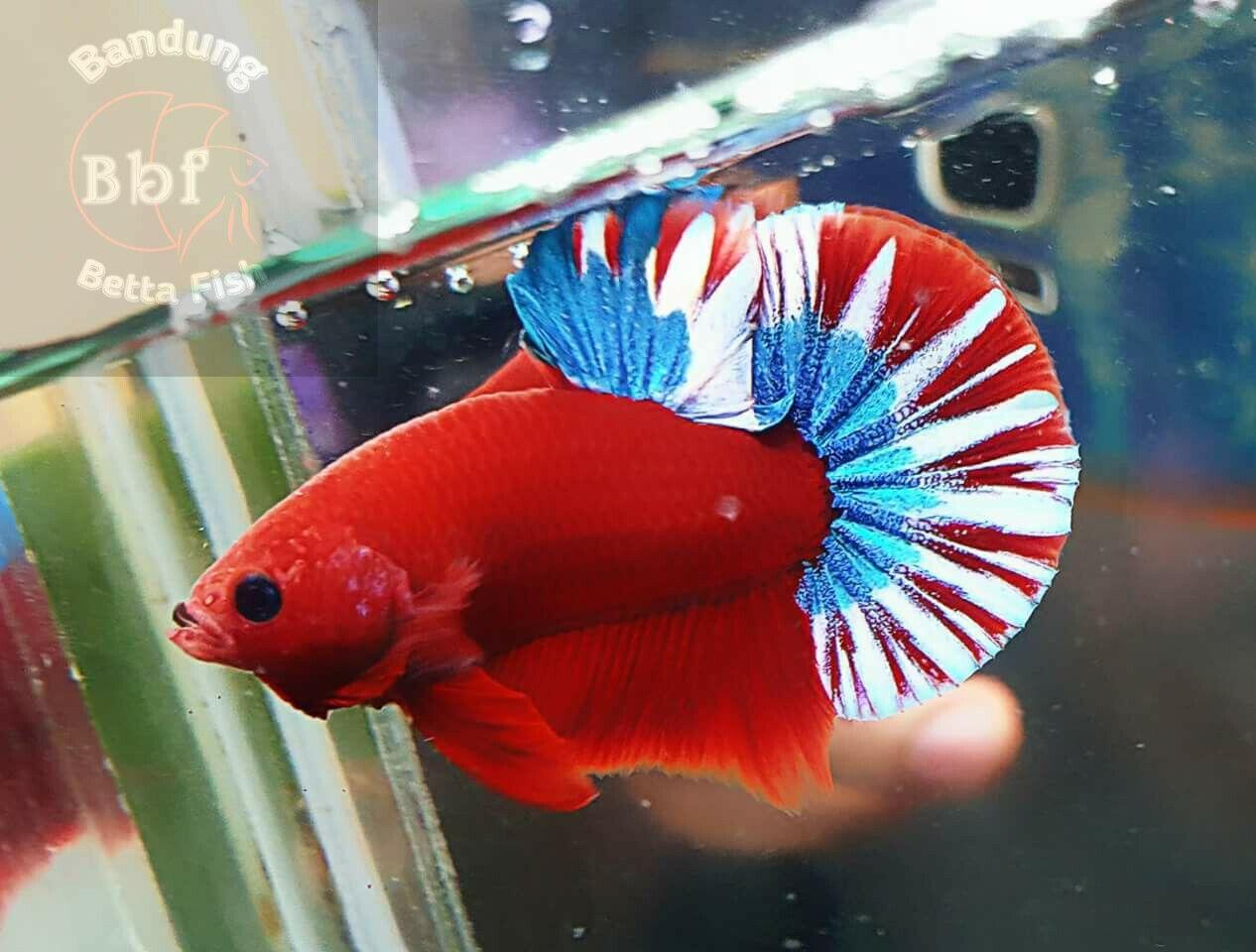Pin by Yalçın on Siyam Kavgacı Balığı ( Beta ) | Pinterest | Betta ...