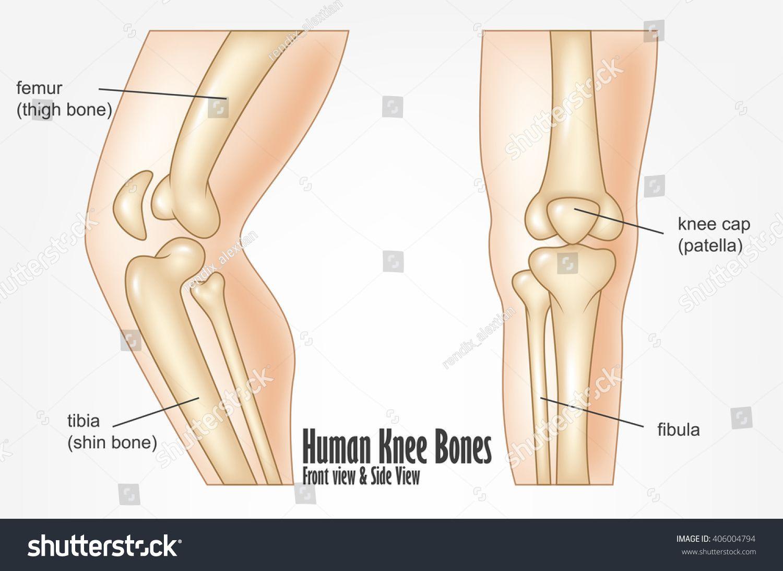 anatomy of human knee anatomy of human knee bone anatomy of knee human knee bones [ 1500 x 1093 Pixel ]