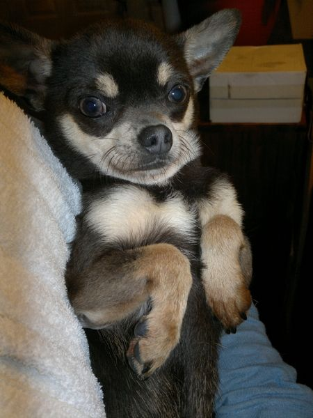 Gorgeous Chihuahua Puppy S For Sale In Pulborough Puppies