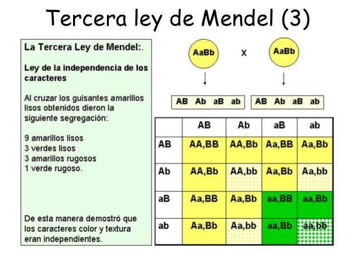 La Tercera Ley De Mendel Es Conocida Tambien Como Ley De La Herencia