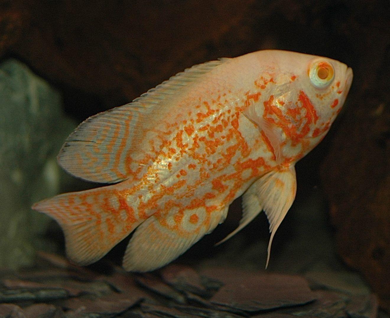 Fotos de pez oscar 89