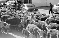 Cattle drive through John Day Oregon 1955 this happened down Canyon Boulevard every year in front of our house in John Day Oregon