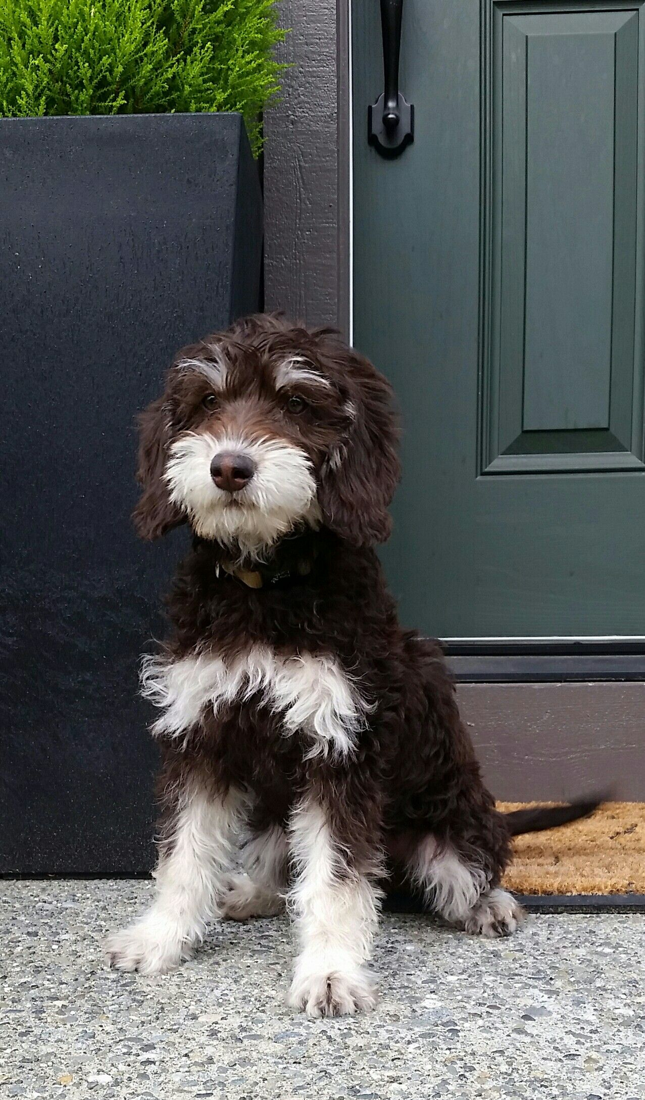 Chocolate phantom labradoodle puppy 3 months old shes