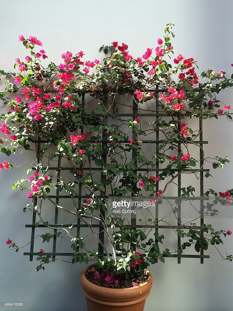 Lovely Bougainvillea Trellis Ideas Part - 8: Trellis Bougainvillea Plant More