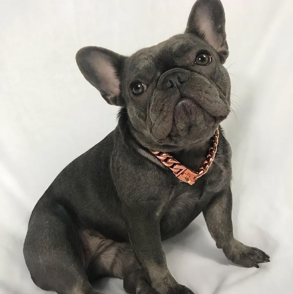 The Miami Rose French Bulldog Puppies Dog Collars Leashes