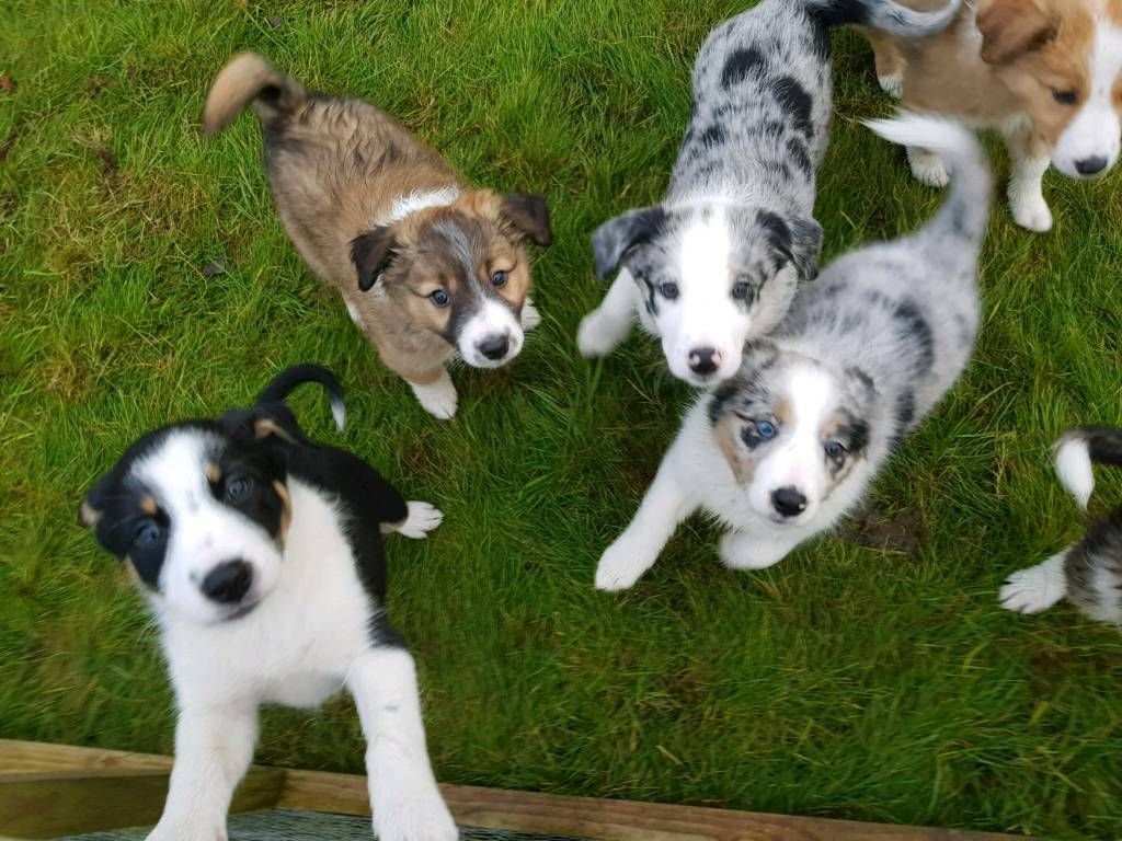 Get Healthy And Ethically Bred Border Collie Puppies For Sale