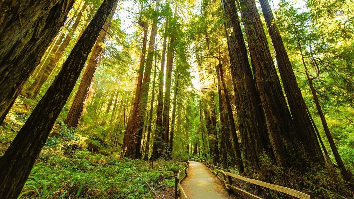Fenced Road Through The Redwood Trees Wallpaper Landscape Trees Redwood Tree Tree Wallpaper Full Hd
