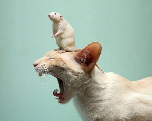 Rat friend perched on cat head!