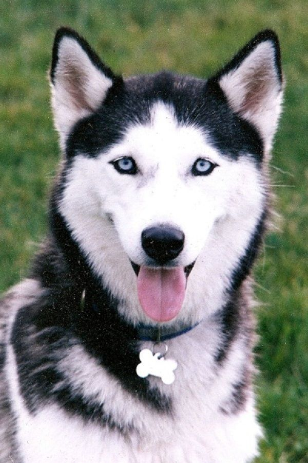black and white husky puppies with blue eyes | Zoe Fans ...
