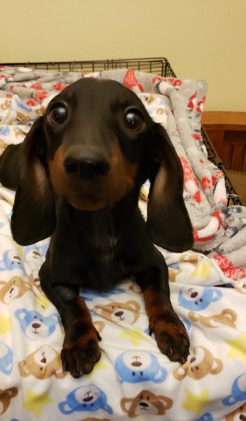 This Lonely Pup Needs A Home Dachshund Short Coat In New York Ny Dog Pets Pet Adoption Petsnearme Pet Adoption Pets Dog Adoption