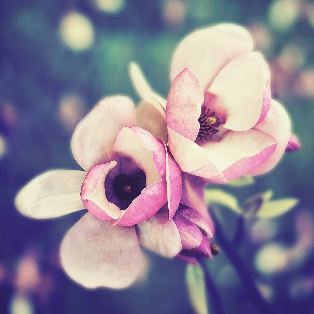 """Sweet Perfume""  #flowers #flores #nature #nature_perfection #natureza #plants #colorversion #perfume #spring #nunomatosfotografia #nunomatos"