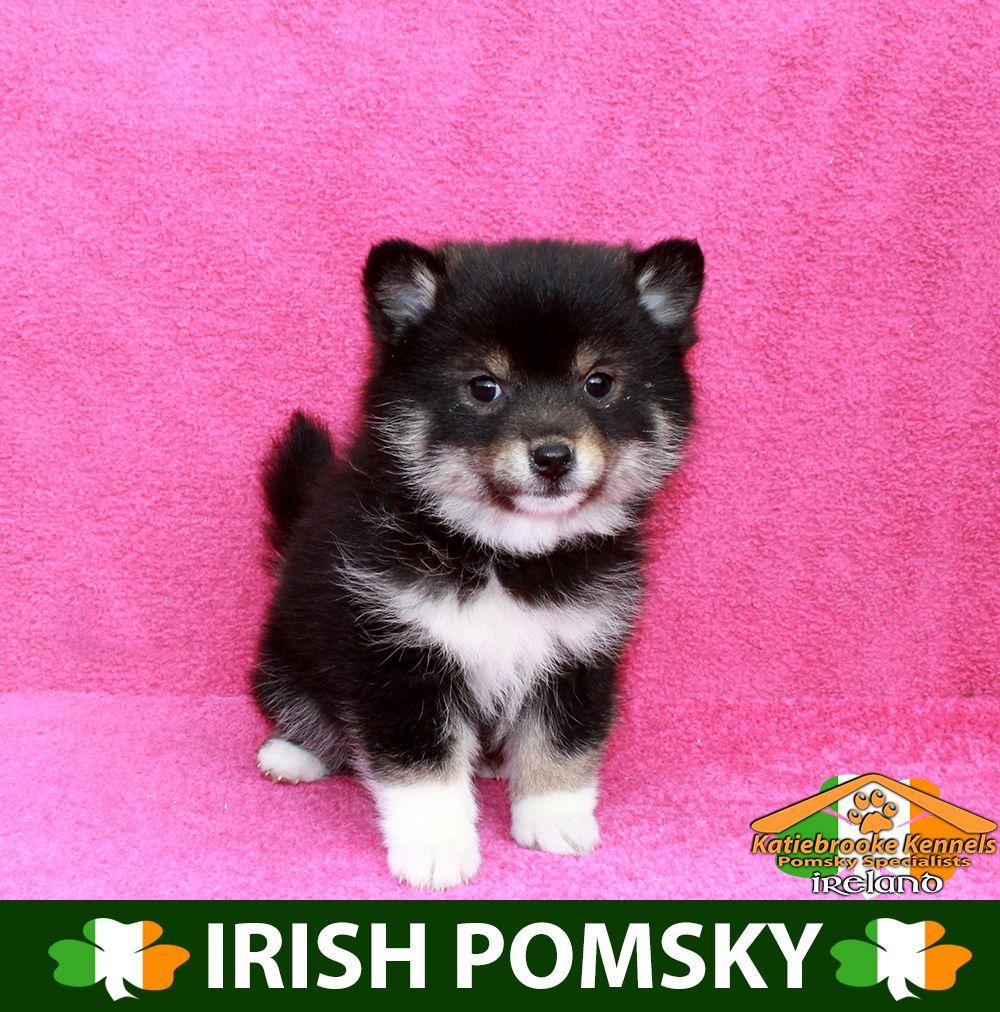 Katiebrooke Kennels Pomsky Specialists Ireland 1000 Uk 1200 Europe 1200 Usa F1 Pomsky Puppy Alberta Brown Pomsky Puppies Pomsky Pomsky Puppies For Sale